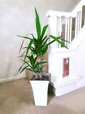 Large Double Spineless Yucca House Floor Plant @Gloss White Milano Pot 90cm Tall