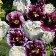 35+ Blackberry Ripple Double Hollyhock Flower Seeds / Alcea / Perennial