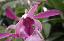 Dendrobium Cherry Dance In Spike