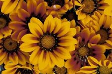 30+ Bronze Star Gazania / Drought Tolerant / Annual Flower Seeds