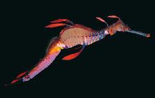 Weedy Seadragon/Sea Dragon postcard