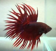 red crown tail betta male approx. 5cm
