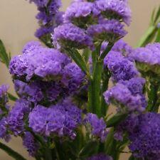 STATICE Purple Attraction Seeds (F 430)