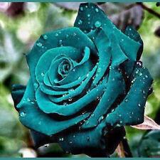 Dark Green 30 Rose Valentine Lover Flower Seeds Garden Home Plant Free Shipping