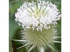50+ WHITE TEASEL FLOWER SEEDS / PERENNIAL /FRESH & DRIED ARRANG / DEER RESISTANT