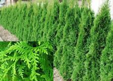 10X 2-3FT LARGE THUJA PLICATA GELDERLAND HEDGING TREES - SPECIMEN PLANTS - 2/3L
