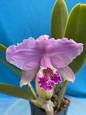 Cattleya lueddemanniana 4� Pot Big New Division Newly Potted Fragrant (15)