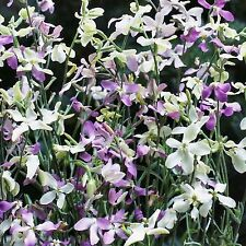 NIGHT SCENTED STOCK SEED MATTHIOLA BICORNIS MIXED COLOURS FRAGRANT 125 SEEDS