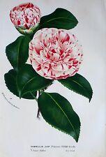 Camellia Japonica Princesse Clotilde,Van Houtte,Flore des Serres,Color Litho