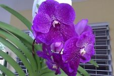 """Vanda Orchid - Roberts Delight """"Blue"""""""
