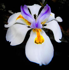 5 African Iris Plants/ Butterfly Iris / Drought And Frost Hardy