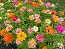 CACTUS ZINNIA - 50 Fresh Seeds - Mixed Colors - BEAUTIFUL BLOOMS!!