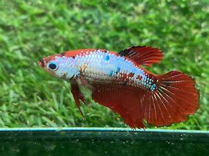 Live Betta Fish - Female - Fancy Betta HMPK , Age 4 month From Thailand