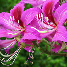 10 Bauhinia Purpurea Tree Seeds Flowers Hawaiian Orchid Garden Beautiful Plants