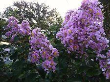 Crepe Myrtle Muskogee Lavender 10 seeds