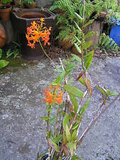 Crucifix Orchid, 'Sunset Orange', Mature plant in pot 75cm