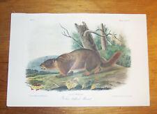 Audubon. Quadrupeds. Octavo. Yellow bellied Marmot.