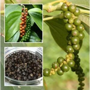 Ceylon Black Pepper/ Peppercorn/ Heirloom PLANTING SEEDS/ Piper nigrum / Quality