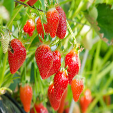 Eversweet Everbearing 10 Live Strawberry Plants, Non Gmo,