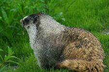 Marmot Taxidermy Reference Photo Cd