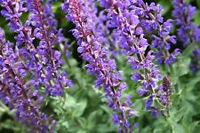 Flower Seed: Queen Blue Salvia Seeds  40 Seeds per packet  Fresh Seed  FREE Ship
