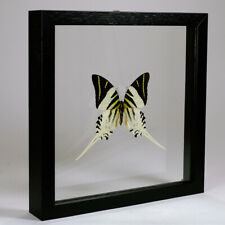 Real taxidermy butterfly mounted in double glass frame - Graphium Androcles