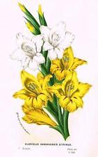 "Van Houtte's ""European Gardens"" -1845- H/C Lithograph - GLADIOLUS GANDAVENSIS"