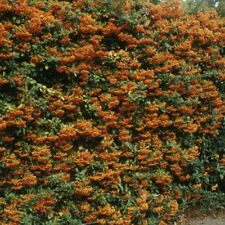 18x PYRACANTHA ORANGE Charmer Evergreen Prickly Hedging Plants 30-40cm tal  e281