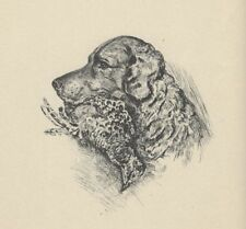 * Curly Coated Retriever - 1937 Lucy Dawson Dog Print