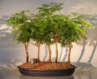 50 seeds of Dawn Redwood Forest Bonsai Metasequoia glyptostroboides tree trees