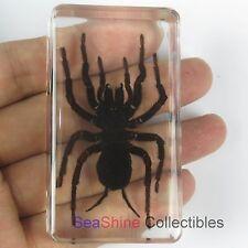 Real Insect specimen - Tarantula Spider (Black Earth Tiger)  73*41mm