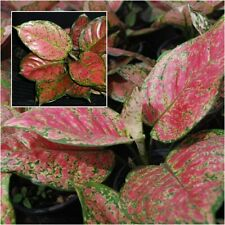 Aglaonema Plant An Mani Daeng Red Leaves Chinese evergreens King Of Foliage