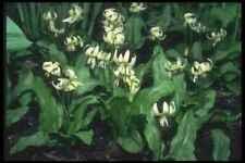 A4 Photo Print White Cluster Erythronium Dens Canis A4 Photo Print