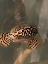 New listing Ornate Bichir, Polypterus Ornatipinnis, 13� Rare And Beautiful Monster Fish!