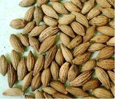 200 pcs Osmanthus fragrans / Sweet Olive seed / O. fragrans - Gui Hua tree seeds