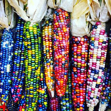 Sweet Rainbow Corn Seeds Colorful Corn Grain High Quality Seeds Vegetable Corn