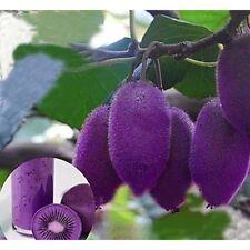 Purple Heart Kiwi Fruit Seeds x 100