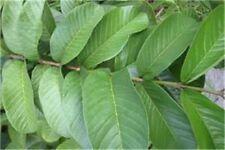 Guava 50 Fresh Leaves Hojas de Guayaba