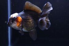 New listing Live Tricolor Rosetail Oranda Fancy Goldfish #6 + Video In Description