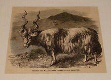 1878 magazine engraving ~ Cretan Or Wallachian Sheep
