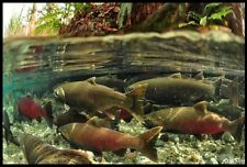 "Realfish Inland Series: "" Coho Salmon #2 "" Fish Mat Floor Mat Doormat 24x36"