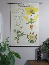 VINTAGE PULL DOWN BOTANICAL SCHOOL WALL CHART OF RAPESEED FLOWER PLANT (2)