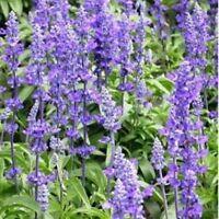 Blue Sage (Salvia Farinacea)- 200 seeds