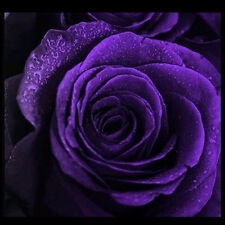 High Quality 50pcs Purple Rose Flower Seeds Gift Garden Plants For Your Lover