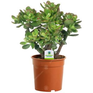Crassula Ovata - 1 Plant - House / Office Live Indoor Pot Money Penny Tree