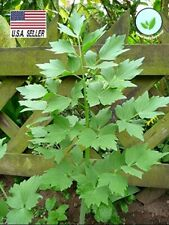 Lovage - 100 seeds - Non GMO-Open Pollinated-Medicinal Herbs Vegetable seeds USA