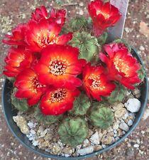 "Spectacular Rebutia spegazziniana specimen, 5"" pot."