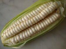 Cusco's Giant White Corn Seeds ~ Peruvian Zea Mays ~ theseedhouse ~ 10 Seeds
