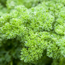 TRIPLE CURLED PARSLEY Petroselinum crispum herb plants – 6cell seedling punnet