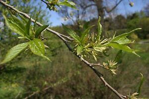 Chinesischer Guttaperchabaum Eucommia ulmoides Pflanze 25-30cm Gummiulme Rarität
